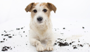 dog ate dirt white background