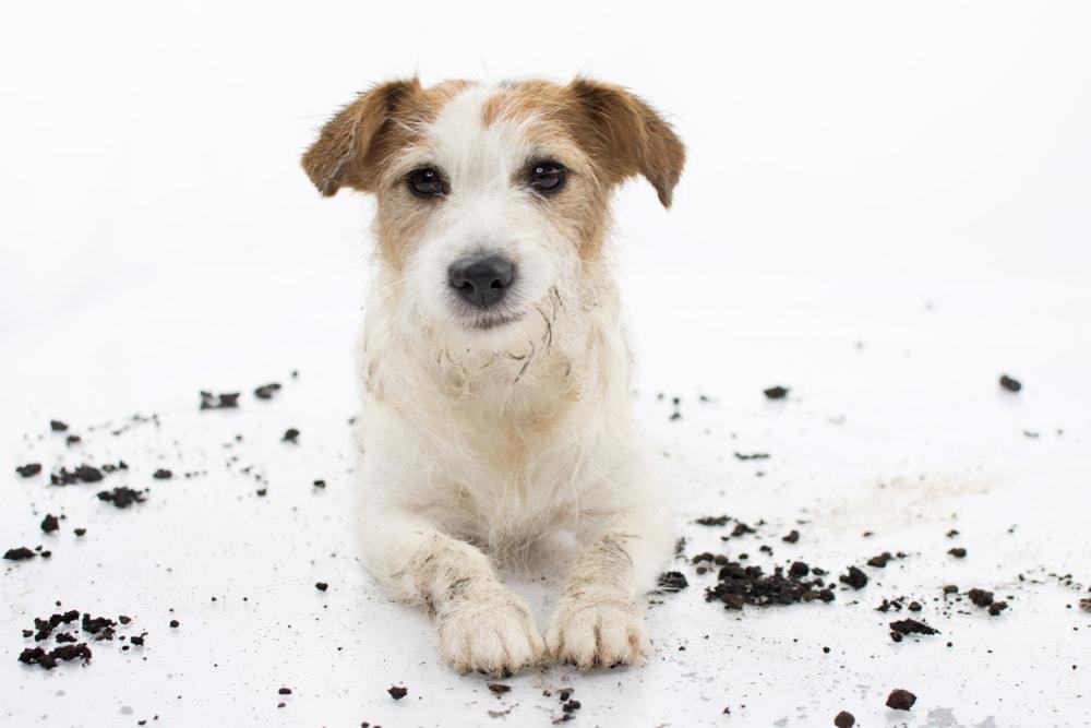 dog ate dirt white background