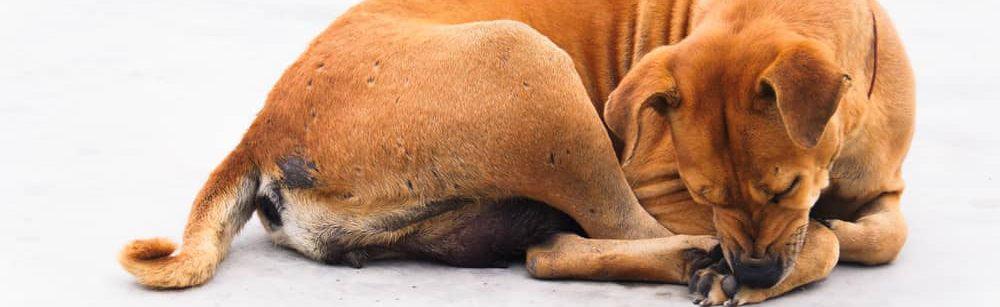 dog bites its leg white background e1582861856407