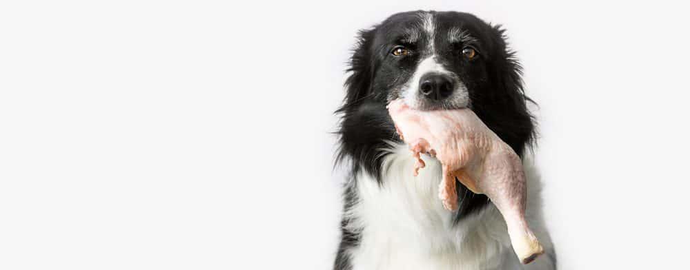 dog eat raw chicken 1 e1582789056121