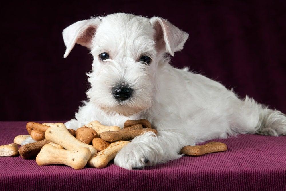 dog eating crackers