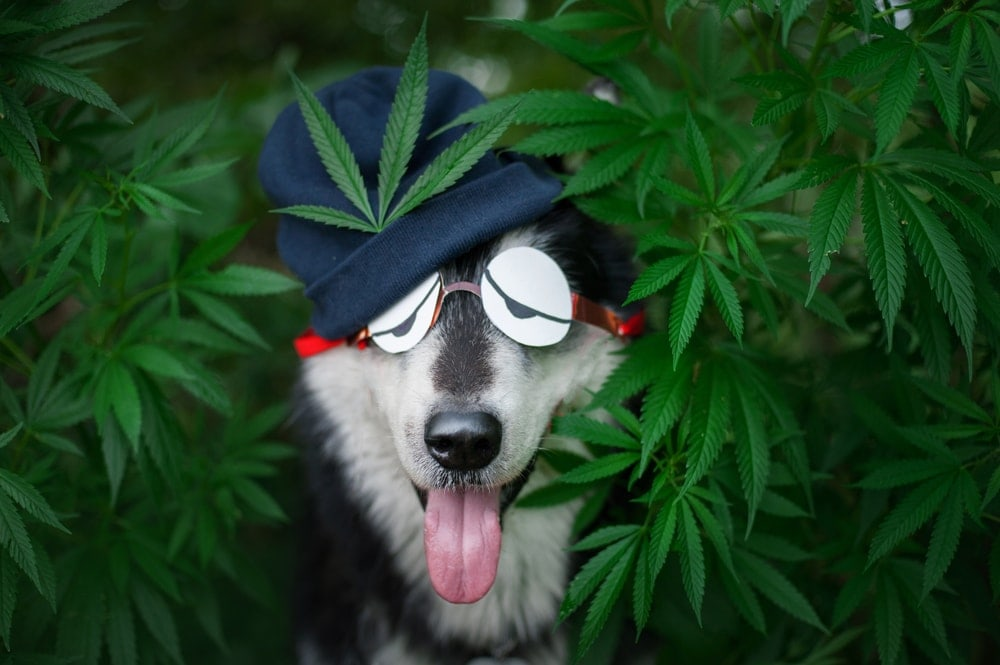 dog in a weed