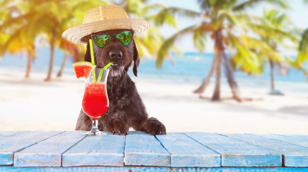 dog on vacation coctails 1