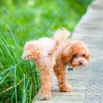 5 Reasons Why Your Dog Hasn´t Urinated for 24 Hours