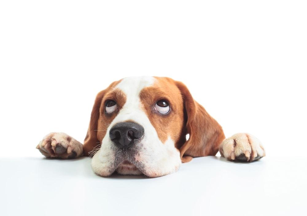 dog roll eyes back in head 1