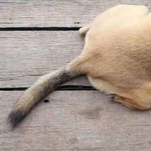 Injured & Broken Dog Tail: Symptoms, Causes & Treatments