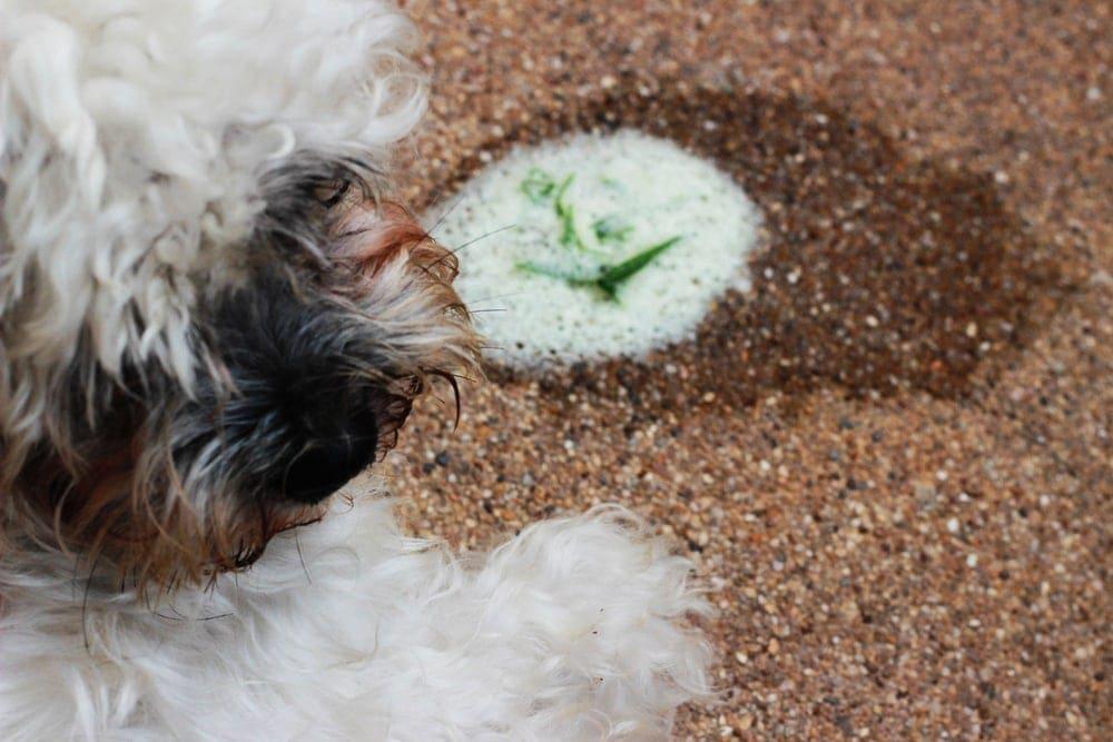 dog vormited on a carpet