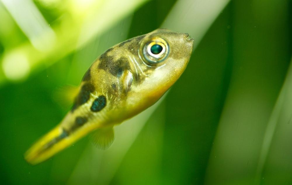 dwarf Freshwater Pufferfish