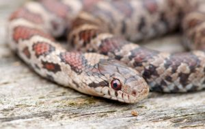 eastern milk snake close