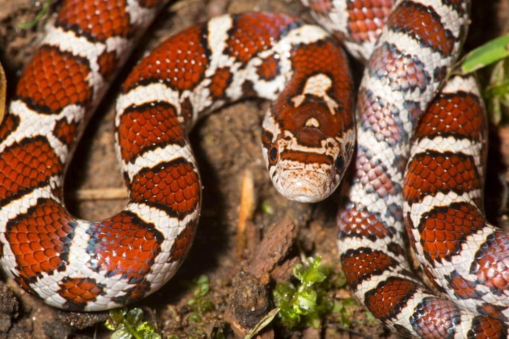eastern milk snakes