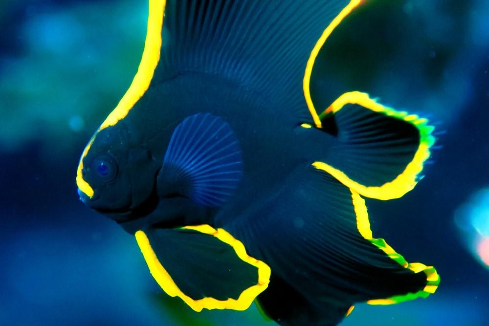 firebird fish