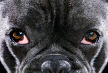 Reasons Why Your Dog Has Swollen Eyes