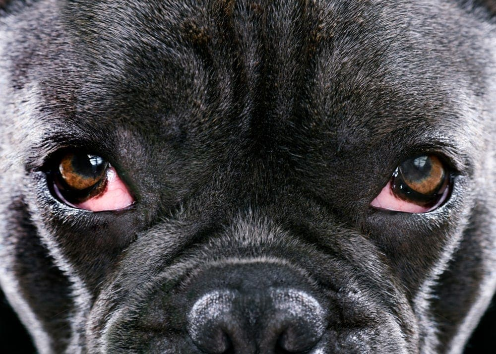 french bulldog with eyes infection