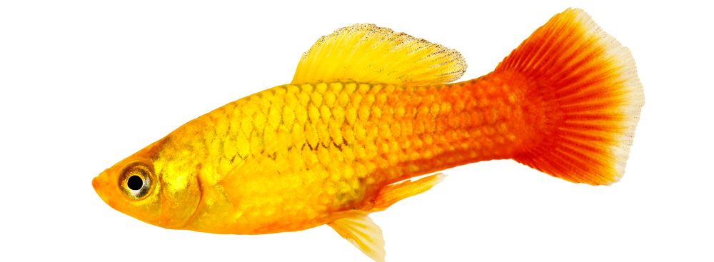 gold Platy Fish white background e1580934750314