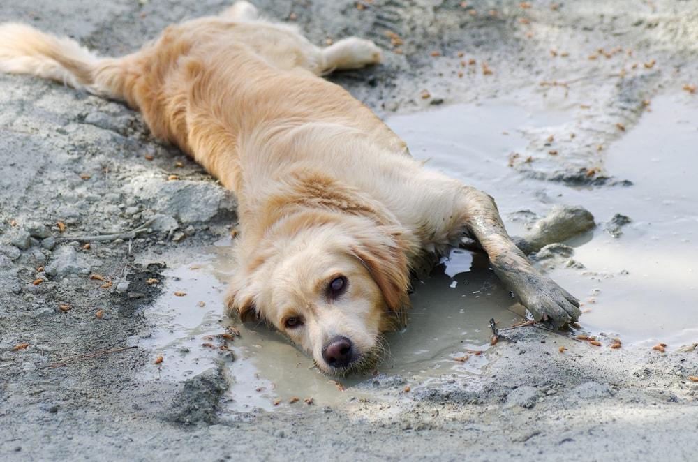 golden retreiver in a mud