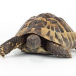 Greek Tortoise Care Guide & Info