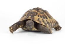 Greek Tortoise Care Guide & Info