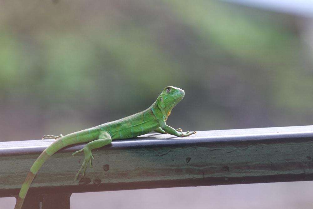 green anolis