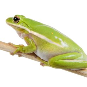American Green Tree Frog Care Guide & Info