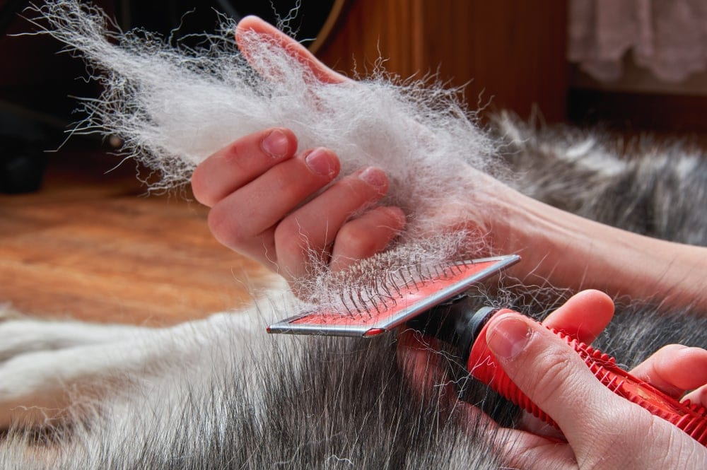 grooming a shedding dog