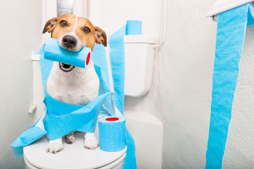 jack russel and toilet paper