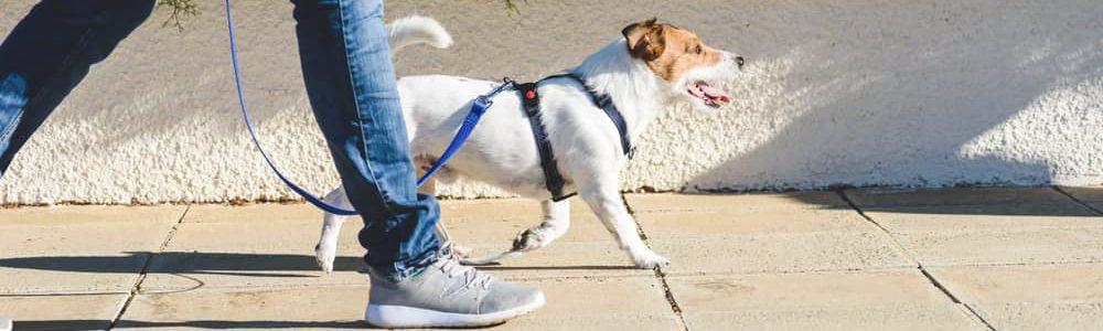 jack russel terrier on a walk e1582975274528