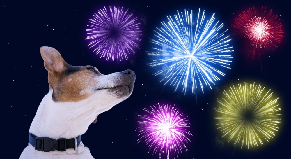 jack russel terrier watches fireworks