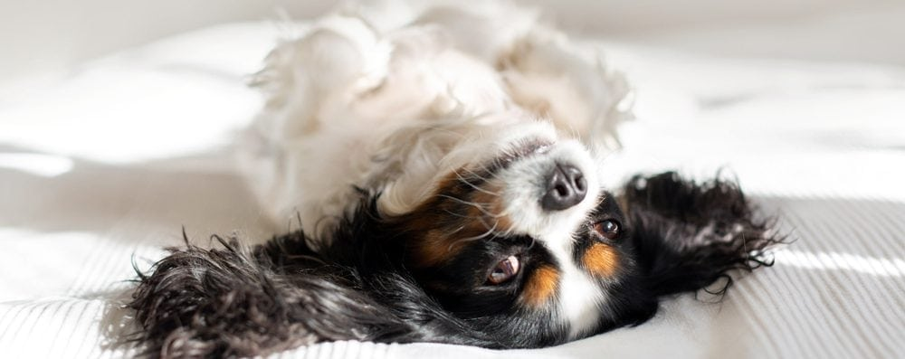 king charles spaniel on a bed e1582795432552