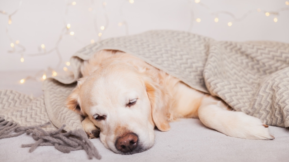 labrador sleeps in a bed with lights