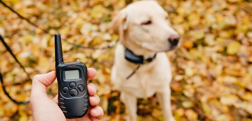 labrador with shock collar in a park e1582979002603