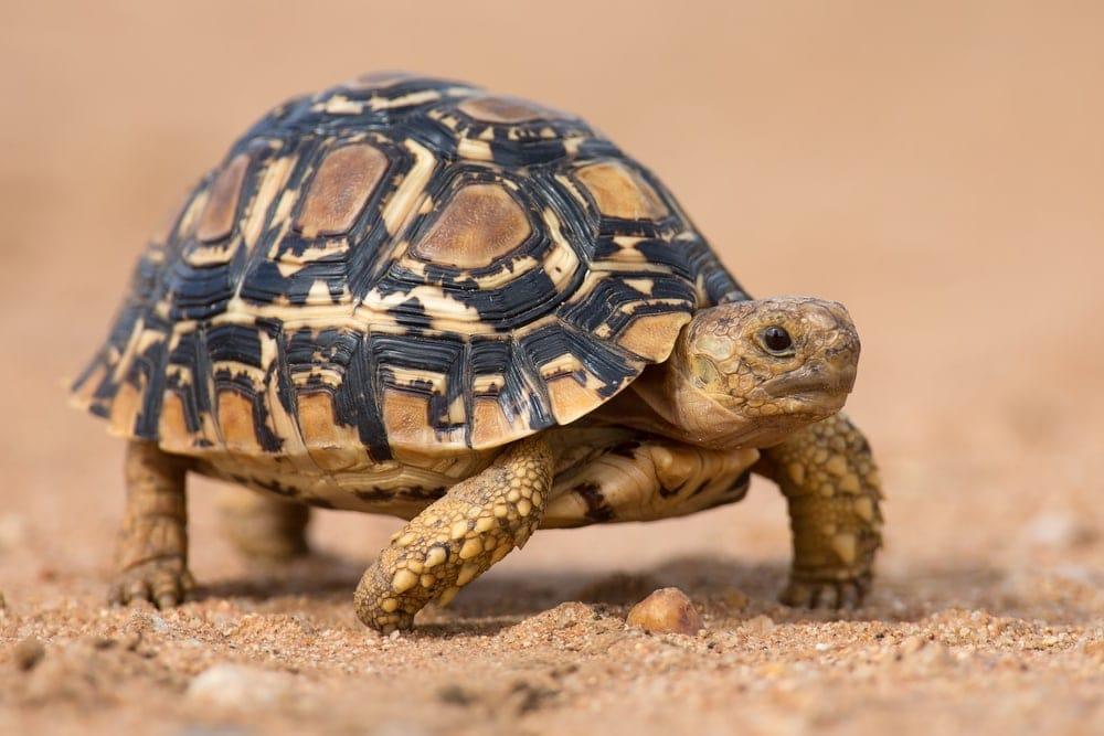leopard tortoise walks