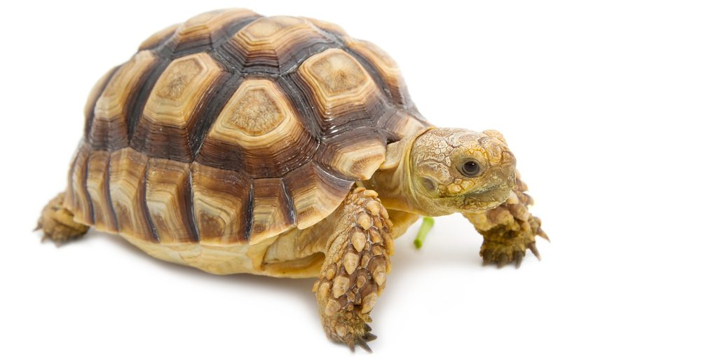 leopard tortoise white bg 1 e1580756007313