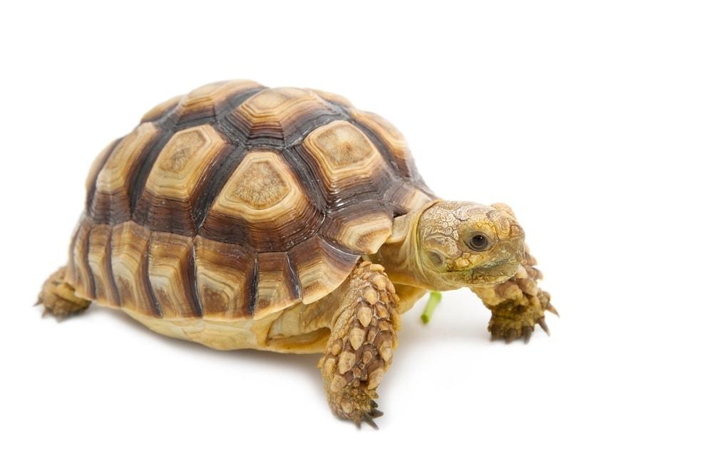 leopard tortoise white bg