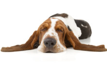 Top 10 Most Low-Energy Dog Breeds