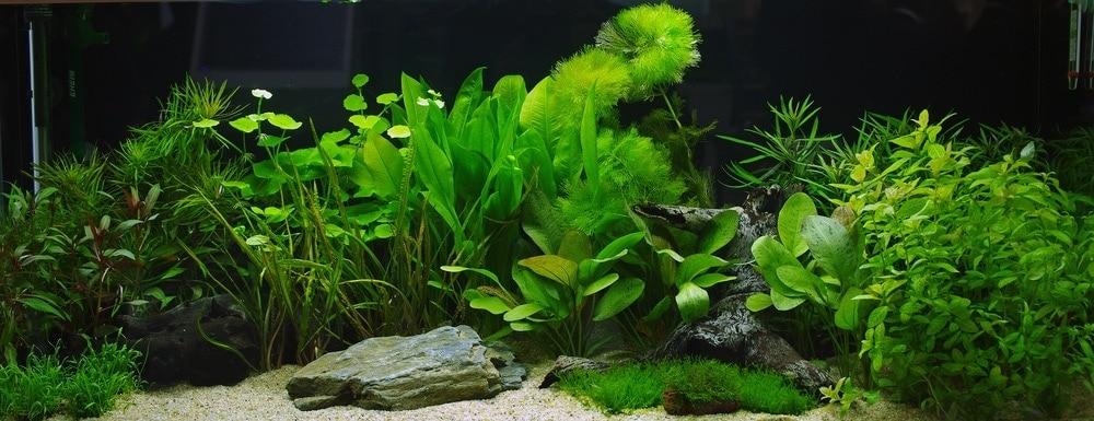 low light aquarium plant