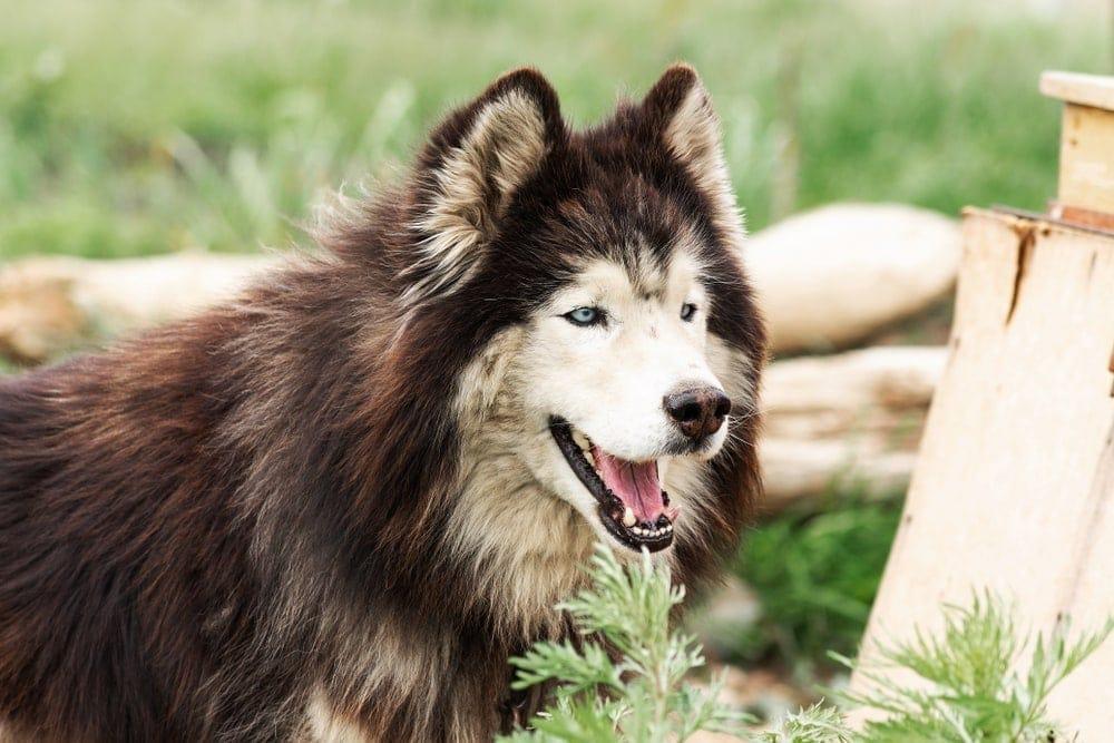 old husky