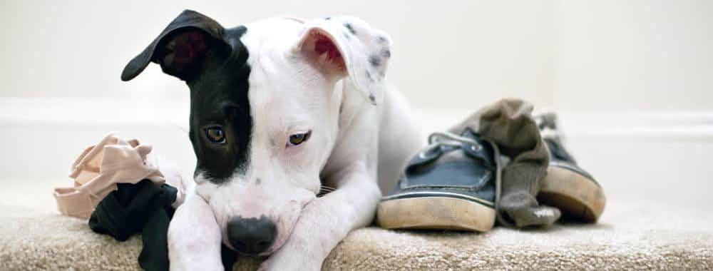 puppy caught chewing underwear e1582786990401