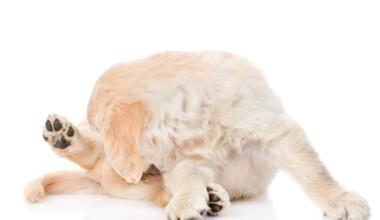 puppy licks his buut