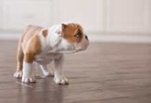 8 Reasons Why Your Dog is Peeing so much