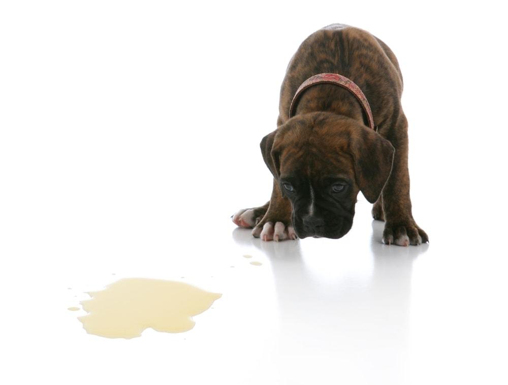 puppy peed