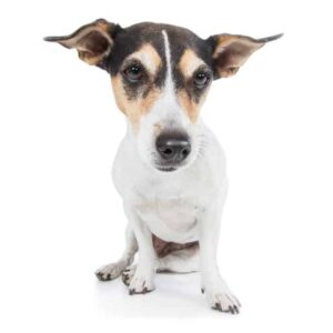Why Is My Dog Shaking and Trembling?