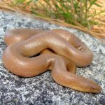 Rubber Boa Care guide - Size, Diet & More