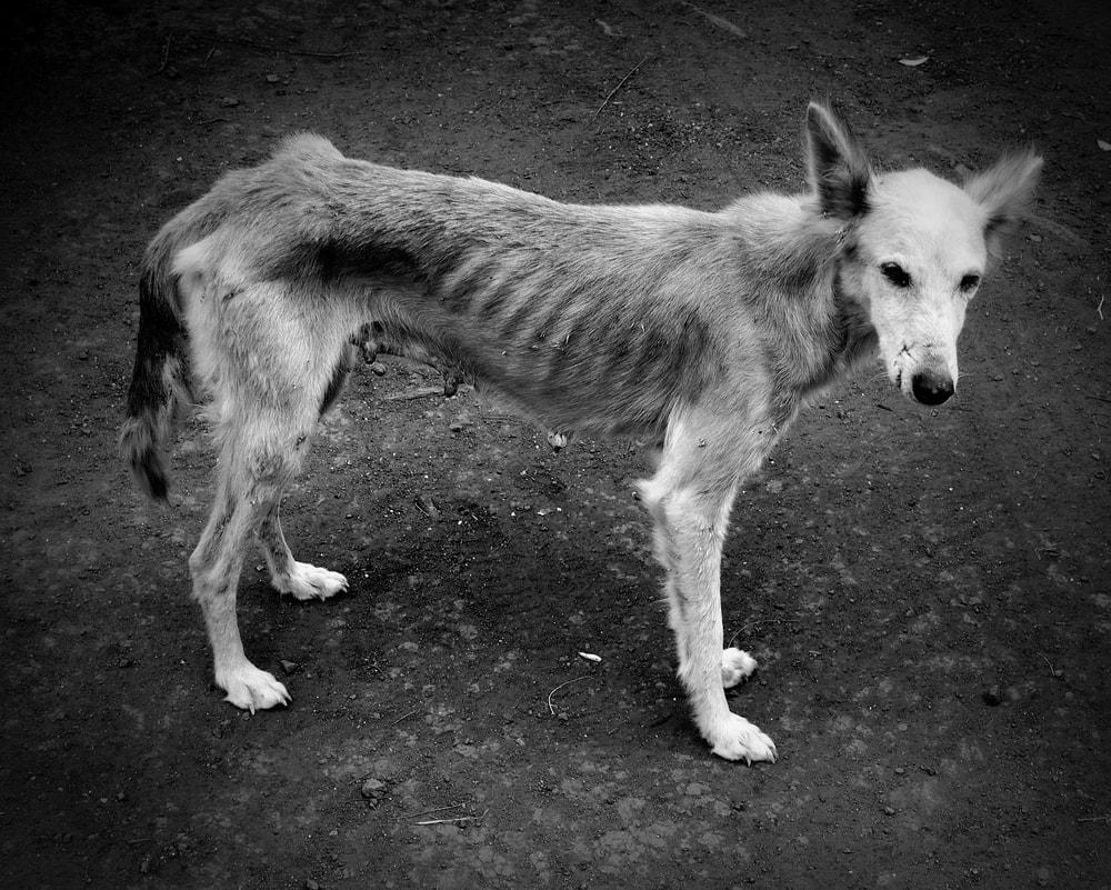 skinny old dog