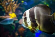 Batfish Care Guide - Types, Tank & More