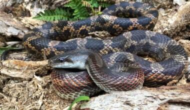 texas rat snake 1