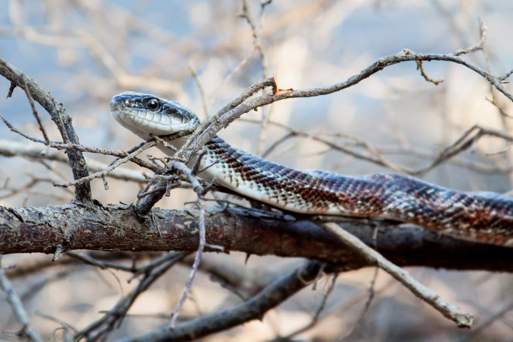 texas rat snake in tree
