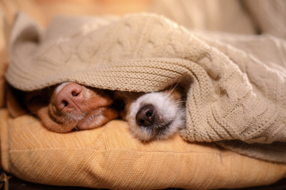 two dogs are sleeping uder the blanket