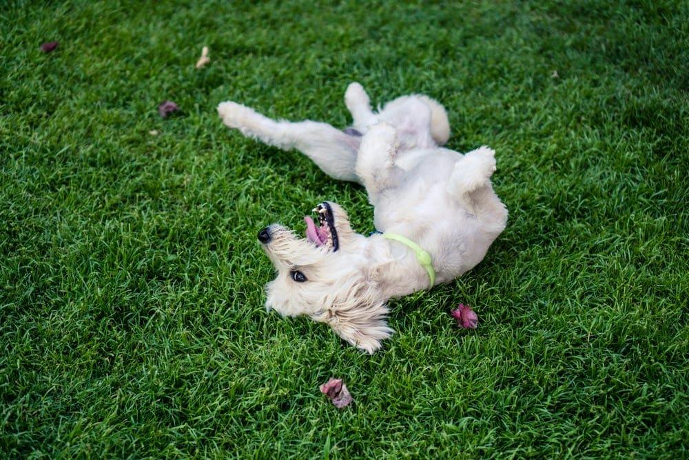 white dog rolls in a grass