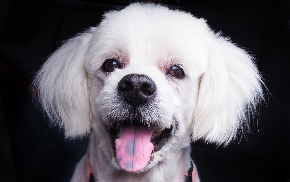 white dog with ink on tongue 1