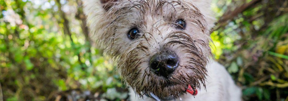 white terrier dirty e1582794465463